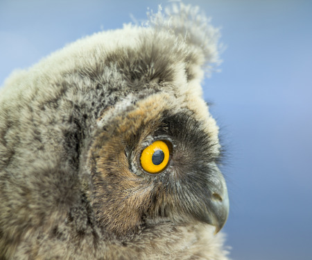 Close up of long-eared owl head in profile photo