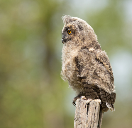 Profile of Long-eared owl standing on dry branch photo