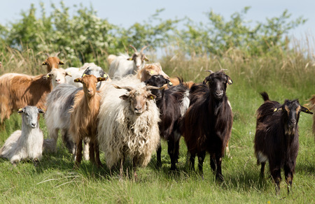 Herd of goats and sheep standing on meadow and looking at camera