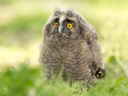 Young long-eared owl standing on grass and looking ahead photo