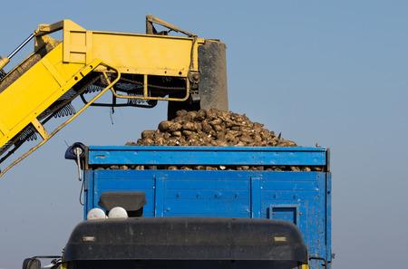 mechanization: Agricultural mechanization dumping sugar beet in trailer Stock Photo
