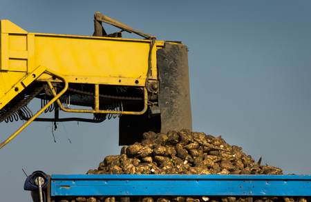 dumping: Agricultural mechanization dumping sugar beet in trailer Stock Photo