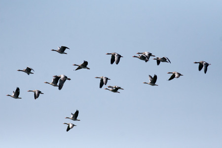 Wild ducks flying on sky photo