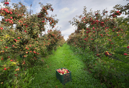 Ripe apples in crates and on trees in orchard