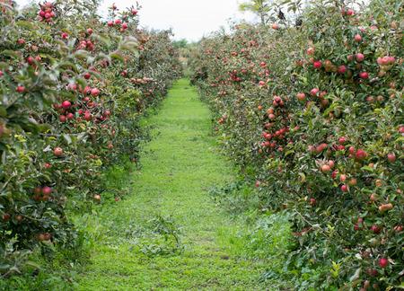 arbol de manzanas: Manzanas rojas maduras en el �rbol Foto de archivo