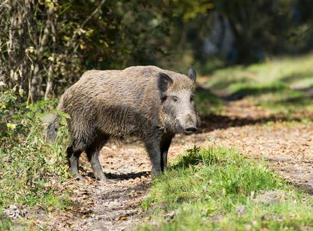 Wild boar standing in forest