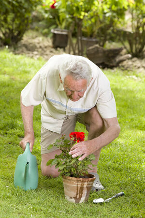 Old man watering red geranium in garden photo