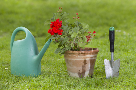 Geranium in clay pot with gardening equipment on grass photo