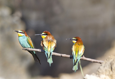 European bee-eaters standing on branch and looking on side photo