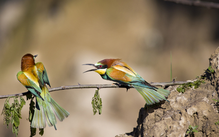 Male bee-eater fighting with other male bird photo