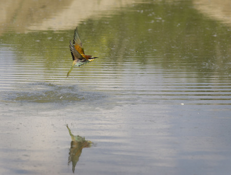 outspread: European bee-eater flying above water with wings high outspread