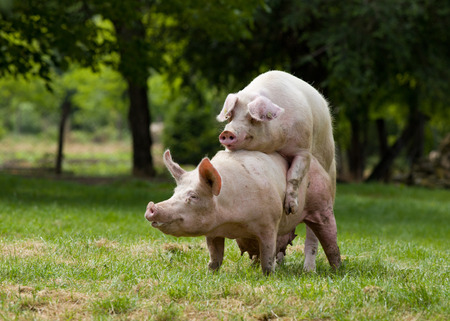 Pigs mating on farm, trees in background