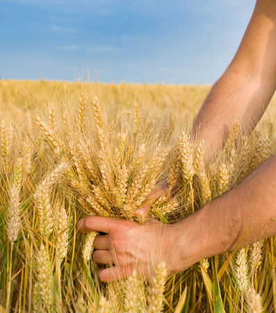 twitch: Close up of male hand holding bunch of wheat