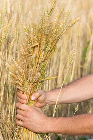 Close up of male hand holding bunch of wheat photo