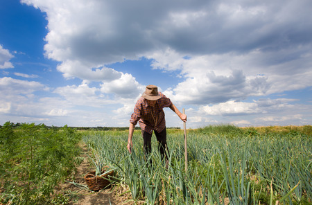 yard work: Old farmer working in an onion field