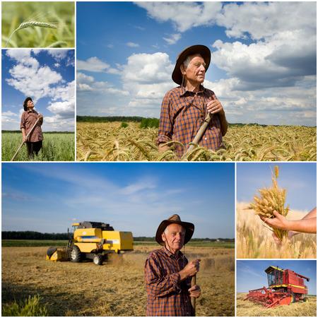 tierra fertil: Collage del viejo campesino en el campo de trigo con combinar la cosecha de la tierra f�rtil