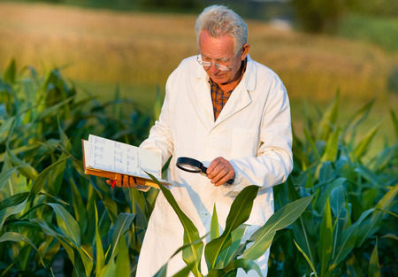 agronomist: Old agronomist in white coat looking through magnifier in corn field