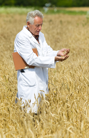 Old agronomist in white coat testing wheat grains in field photo