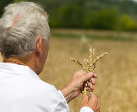 agronomist: Old agronomist in white coat looking in wheat ears in field Stock Photo