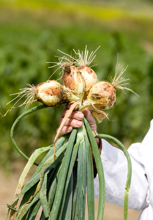 Male hand with white coat holding spring onion from ground photo
