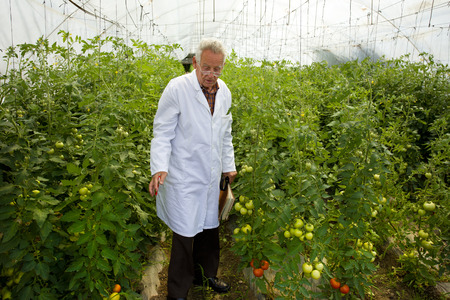Agronomist examines tomato growth in greenhouse photo