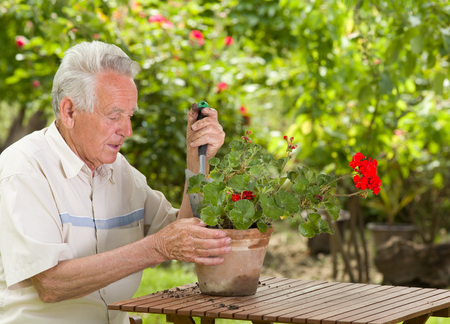 transplanting: Old man transplanting red geranium in garden