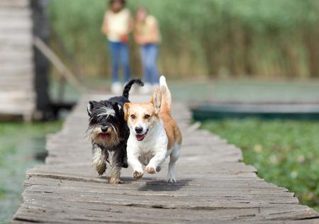 Zwei entzückende Hunde auf Holzsteg laufen