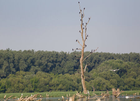 Flock of cormorants standing on dry tree in the river photo