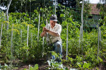 Peasant with hat working in vegetable garden Stock Photo