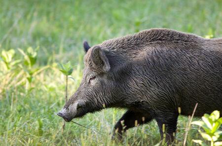 Close up of wild boar (sus scrofa ferus) walking on meadow Stock Photo