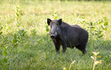 scrofa: Wild boar (sus scrofa ferus) standing on meadow and looking at camera