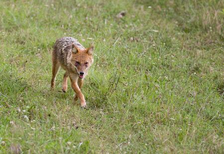 rabies: Golden jackal (canis aureus) with eye infection walking on meadow