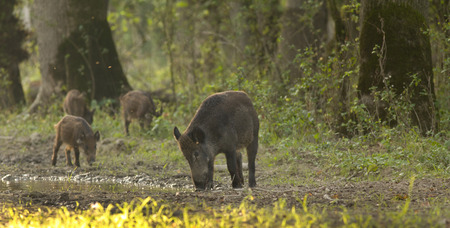 Wild boar mother with piglets in forest on late afternoon sun photo