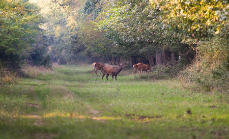 bellowing: Red deer with big antlers roaring beside hind in forest