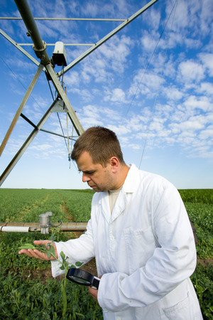 agronomist: Agronomist in white coat examining peas with magnifier on field Stock Photo