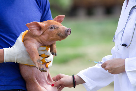 Veterinarian giving injection to piglet on farm 版權商用圖片