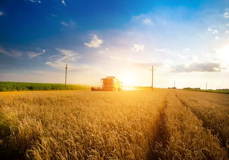 combine harvester: Cosechadoras de trabajo en el campo de trigo