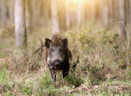 Wild boar standing in forest and looking at camera