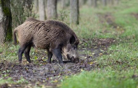 Wildschwein allein im Wald am bewölkten Tag zu Fuß Standard-Bild - 31614342