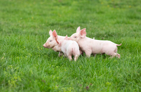 Three cute piglets walking and playing on grass photo