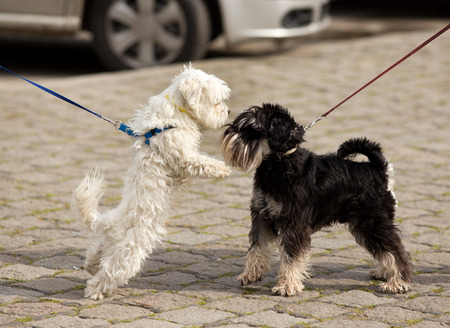 dominance: Two cute dogs on leashes meeting and sniffing on street