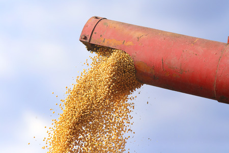 soybean: Close up of combine harvester pouring soybean