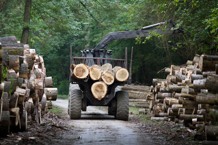 cingulate: Tractor loading wooden trunks on trailer in forest
