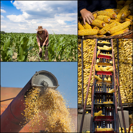 Collage of corn growing and harvesting images photo