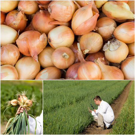 Collection of onion images in field and in the market photo