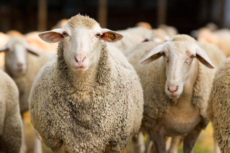 Portrait of cute sheep in herd looking at camera