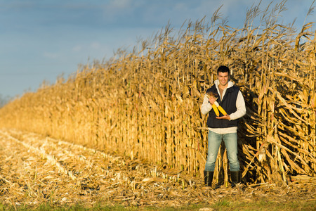 Satisfied young farmer holding corncobs in corn field