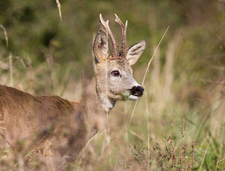 roebuck: Close up of roe deer with antlers in high grass Stock Photo