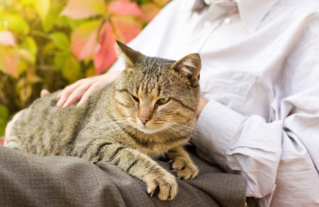 Tabby cat enjoying cuddling in old man's lap