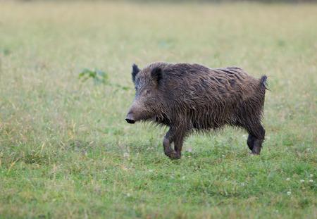 scrofa: Wild boar (sus scrofa) walking on grass